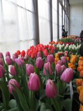 Předjaří v Královské zahradě - tulipány